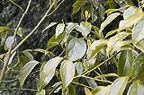 Cinnamomum porrectum HARDY CINNAMON Seeds!