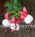 100pcs Fuchsia Hybrida Hort Seeds,Bonsai Lantern Flowers,For Garden Home,Flores Semillas