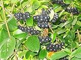 50 BLACK CHOKEBERRY Aronia Melanocarpa White Flower Shrub Seeds