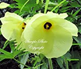 Abelmoschus Manihot Sunset Hibiscus Seeds Bright Yellow Flower Any Soil (5 Seeds)