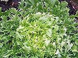 Lettuce, Endive Broadleaf Batavian, Heirloom, Organic 100 Seeds, Tasty Lettuce