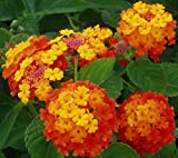 Lantana Camara (50 seeds) fresh this season's harvest from my garden