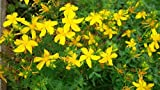 Organic Tutsan seeds Zveroboy (Hypericum perforatum) Saint-John's-wort 200 seeds