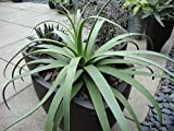 """Agave Bracteosa """"Spider Agave , Squid Agave"""" Great Ornamental!! x Fresh Seed"""