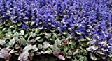 30+ Ajuga Reptans Flower Seeds /Deer Resistant / Shade Loving/ Groundcover Perennial