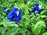 30 Seeds Thai Butterfly Pea Seeds