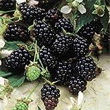 "Blackberry Plants ""Sweetie-Pie"" Price Includes Four (4) Plants"
