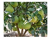Pomelo Tree Seeds Grapefruit Shaddock Great Taste Organic Fruit Seeds 50pcs for Orchard Home Gardening by tantarashop