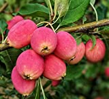 Dolgo Crabapple fruit tree seedling hardy crab apple tree LIVE PLANT