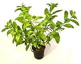 9GreenBox - One gal Night Blooming Jasmine Plant - Cestrum nocturnum