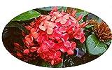 Maui RED Ixora Tropical Live Plant Orange Red Flower Starter Size 4 Inch Pot Emerald Goddess Gardens TM