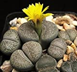 LITHOPS TERRICOLOR, Rare mesembs Exotic Succulent Living Stones Cactus 100 Seeds