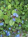 Plumbago Ceratostigma 6 Plants in 3-1/2 inch Pots