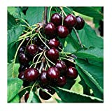 Black Cherry Fruit Tree Seeds, 35+ Premium Quality Tree Seeds, Sweet & Delicious Black Cherries! 85-90% Germination Rates (Isla's Garden Seeds) Highest Quality Seeds