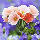 100 Pcs Blue Evening Primrose Flowers Colorful Mixed Seeds Bonsai Plant Garden Balcony Ornamental Home Primula Malacoides Flower Pink White
