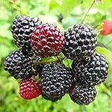 super1798 50 Pcs Rare Raspberry Fruit Seeds Sweet Juicy Raspberries Garden Plant - Black