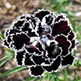 ADB Inc Fresh Seeds of Rare White Black Carnation Flower Dianthus Chinensis