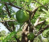 Calabash Tree Seeds (Crescentia cujete) 4+ Rare Seeds + FREE Bonus 6 Variety Seed Pack - a .95 Value! Packed in FROZEN SEED CAPSULES for Growing Seeds Now or Saving Seeds For Years