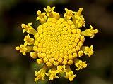 30+ Santolina Cotton Lavender Flower Seeds /Perennial / Most Fragrant