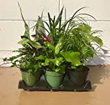 Collection of the Nine Best Clean Air Plants for your Home or Office - Florist Quality - Live Plants