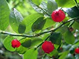 "Red Huckleberry/Bilberry - Eat Fresh/Dried/Jam - 2.5"" Pot - Vaccinium parvifolium"