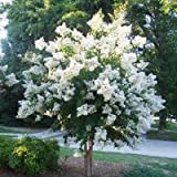Natchez White Crapemyrtle Tree - Live Plants Shipped 2 Feet Tall by DAS Farms (No California)