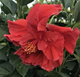 Tropical Hibiscus rosa-sinensis 'Double Red' ~ Live Plant