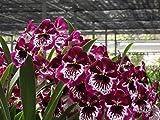 Red Alert! Miltoniopsis Lennart Karl Gottling orchid in spike now