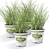Bonnie Plants Organic Onion Chives - 4 Pack Live Plants | Perennial In Zones 3 - 10 | Non-GMO | Great For Salads, Soups, Potatoes & More