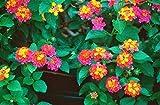 Lantana--BEAUTIFUL seeds