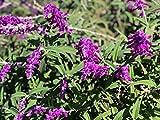 P050X01. 1 Plant of Salvia Leucantha Mexican Sage