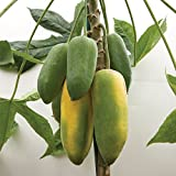 M-Tech Gardens Dwarf Babaco Papaya Vasconcellea heilbornii Fruit Seed for Growing 15 Seeds/Bag