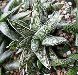 Gasteria bicolor succulent plant 6cm