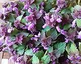 100 Seeds of Archangel Lamium atropurpureum / Lamiaceae