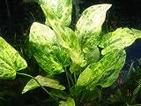 Potted Marble Queen (Echinodorus cordifolius) - Beginner Tropical Live Aquarium Freshwater Plant