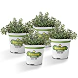 Bonnie Plants German Thyme Live Herb Plants - 4 Pack | Perennial In Zones 5 to 9 | In Bouquet Garni; Aromatic Dishes