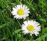 1000 Seeds English Daisy Wildflower Seeds, Bellis perennis, NON-GMO
