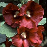 Alcea Rosea Seeds - BURNT RED - Hollyhock - Country Garden Variety - 25 Seeds