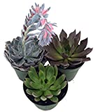"3 Different Desert Rose Plants - Echeveria - Easy to grow/Hard to Kill! -3"" Pots"