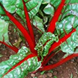 Outsidepride Red Swiss Chard Plant Seed - 1000 Seeds