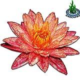 Greenpro Live Aquatic Plant Nymphaea Wanwisa Red Hardy Water Lilies Tuber for Aquarium Freshwater Fish Pond