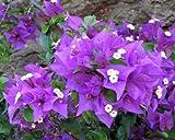 Bougainvillea - 'Royal Purple'