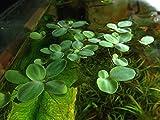 12 Dwarf Water Lettuce, Pistia stratiotes, Live Aquarium/Floating/Aquatic Plant