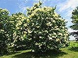 seedusa 15 Seeds Flowering Japanese Tree Lilac Syringa Reticulata