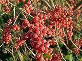 20 AUTUMN OLIVE / JAPANESE SILVERBERRY Bush Shrub Elaeagnus Umbellata Seeds