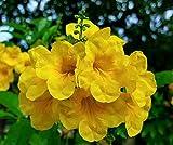 Tecoma Stans, Yellow Elder, Esperanza ,Texas Yellow Bells 25+ FRESH SEEDS