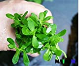 Mainam Moneywort Bacopa Monnieri Bundle Live Aquarium Plant for Freshwater Fish Tank Decoration 3 Days Live Guaranteed