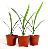 9Greenbox Good Hope Clivia, Fire Lily, 15.9 Ounce (Pack of 3)