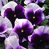 Outsidepride Pansy Beaconsfield Flower Seed - 1000 Seeds