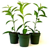 """9Greenbox 3 x 4"""" Plant Pot, Night Blooming Jasmine, 3 Pound (Pack of 3)"""